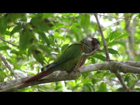Tiriba-de-orelha-branca Pyrrhura leucotis Maroon-faced Parakeet