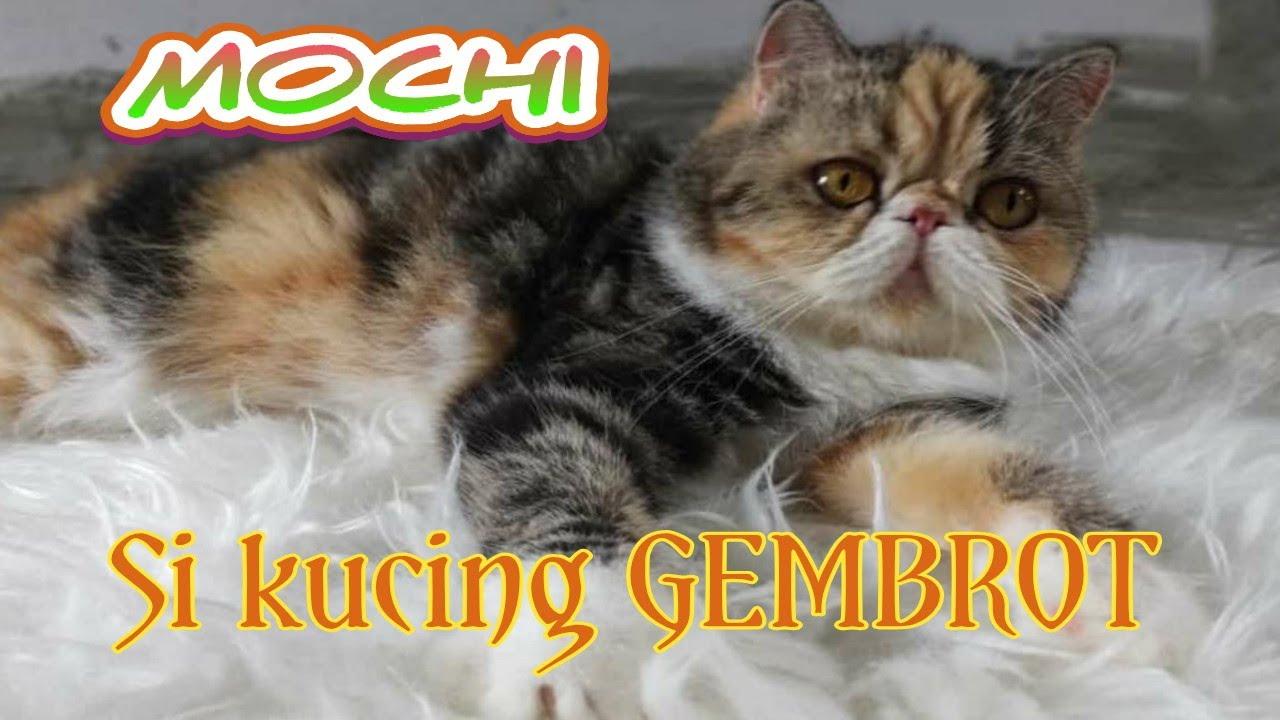 Kucing Exotic Calico Tabby Gembrot Mochi Youtube