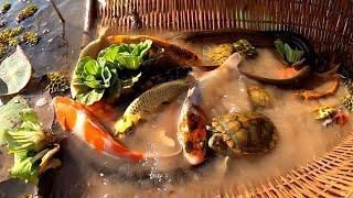 TOP 10 Amazing Videos 2021 Best Videos Fishing  Net Fishing Beautiful Fish Giant Oranda KOI Goldfish