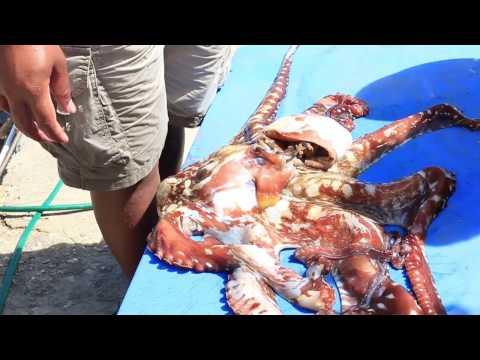 HUGE Octopus caught in Vava'u Tonga | Watch it change colors!