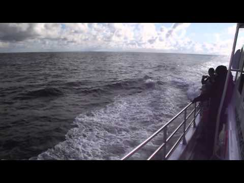 Large Pod Of Common Dolphins Chase After The Kilda Cruises Boat