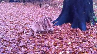 Rhodesian Ridgeback, Broholmer, Staffordshire Bull Terrier Having A Fight