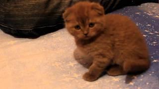дерский кот марсик
