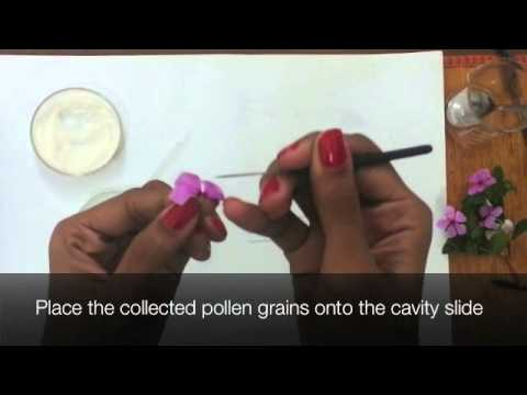 Pollen Germination by Shwetha Menon