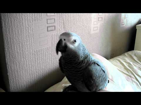 Amazing talking parrot. Swearing parrot