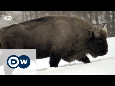 Return of the European bison | Eco-at-Africa