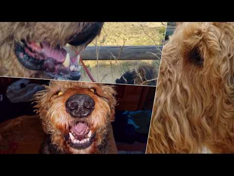 Larger Airedale Terrier puppies for sale