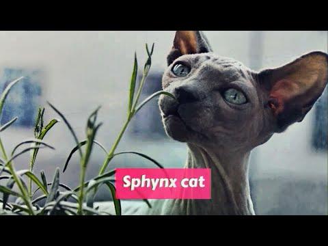 Sphynx (Cat) Felis catus
