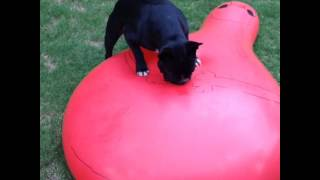 French bulldog pops giant water balloon