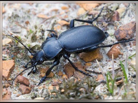 Огромный жук жужелица