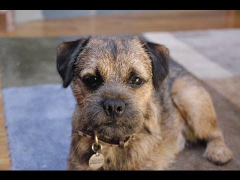 Border Terrier / Raza de Perro