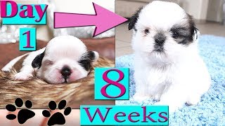 Shih Tzu Growing Up   Day 1 to Week 8   Puppy Transformation   TOO CUTE