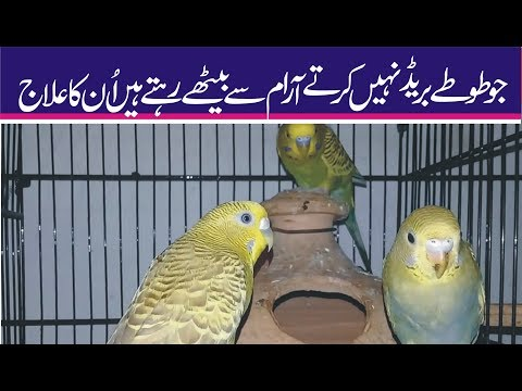 wo parrot jo breed nai karte un ka elaaj   waseem zia   urdu   hindi