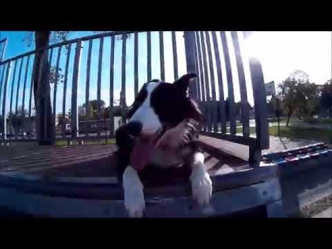 border collie agility, parkour dog on the skatepark hd