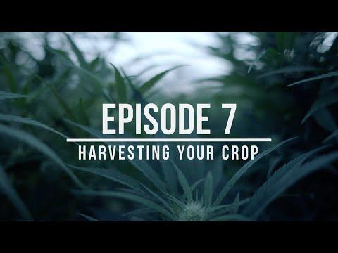 Growing Hemp: Best Practices for Success – Episode 7: Harvesting Your Crop