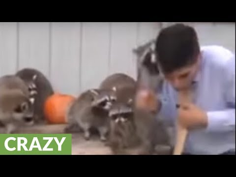 Raccoon attack caught on camera during live segment