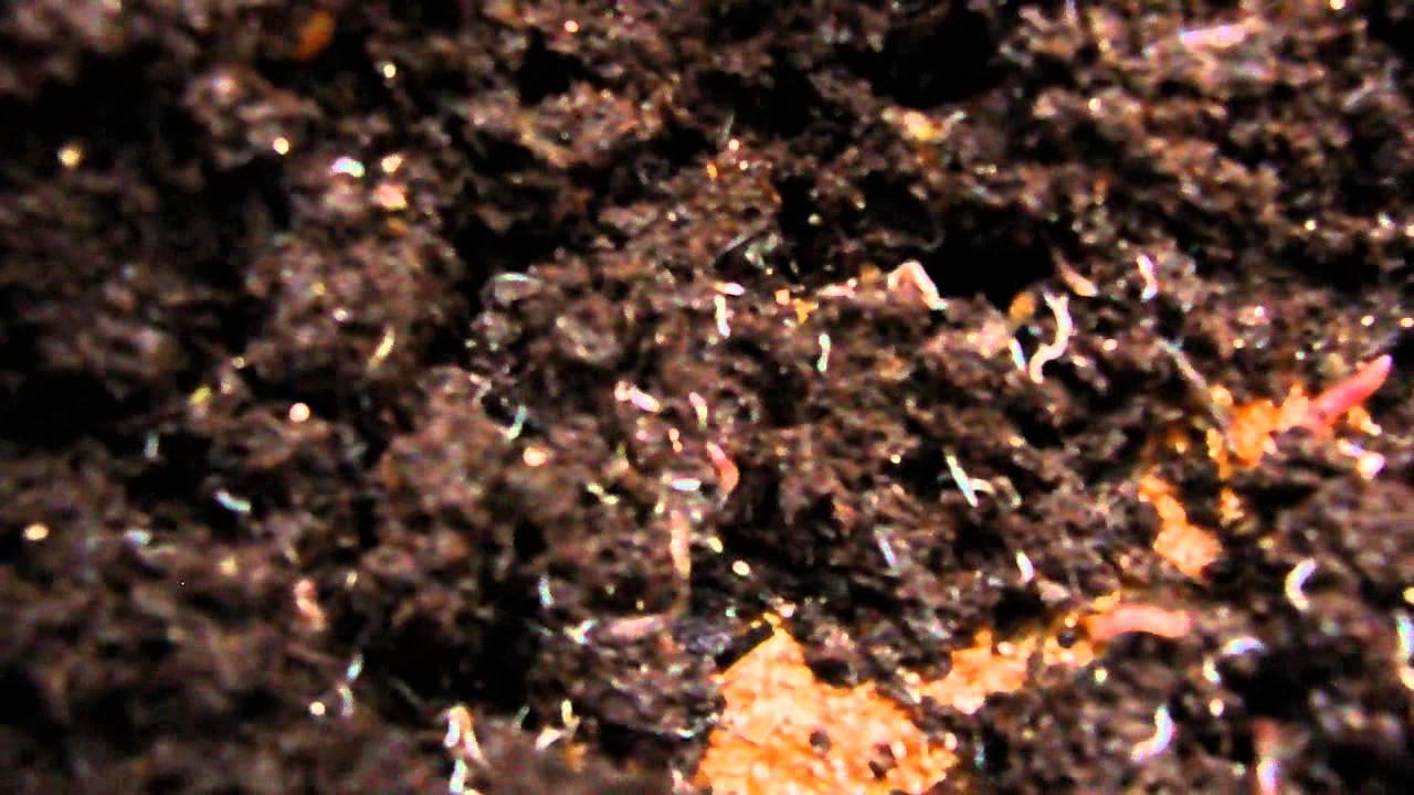 Viermi albi în pământul florilor în ghivece. Remedii la domiciliu cum să scapi