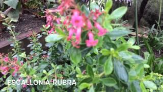 Escallonia rubra. Garden Center online Costa Brava - Girona.(Escallonia rubra. Garden Center online Costa Brava - Girona. Web: http://personalgardenshopper.es/, 2014-12-05T18:22:40.000Z)