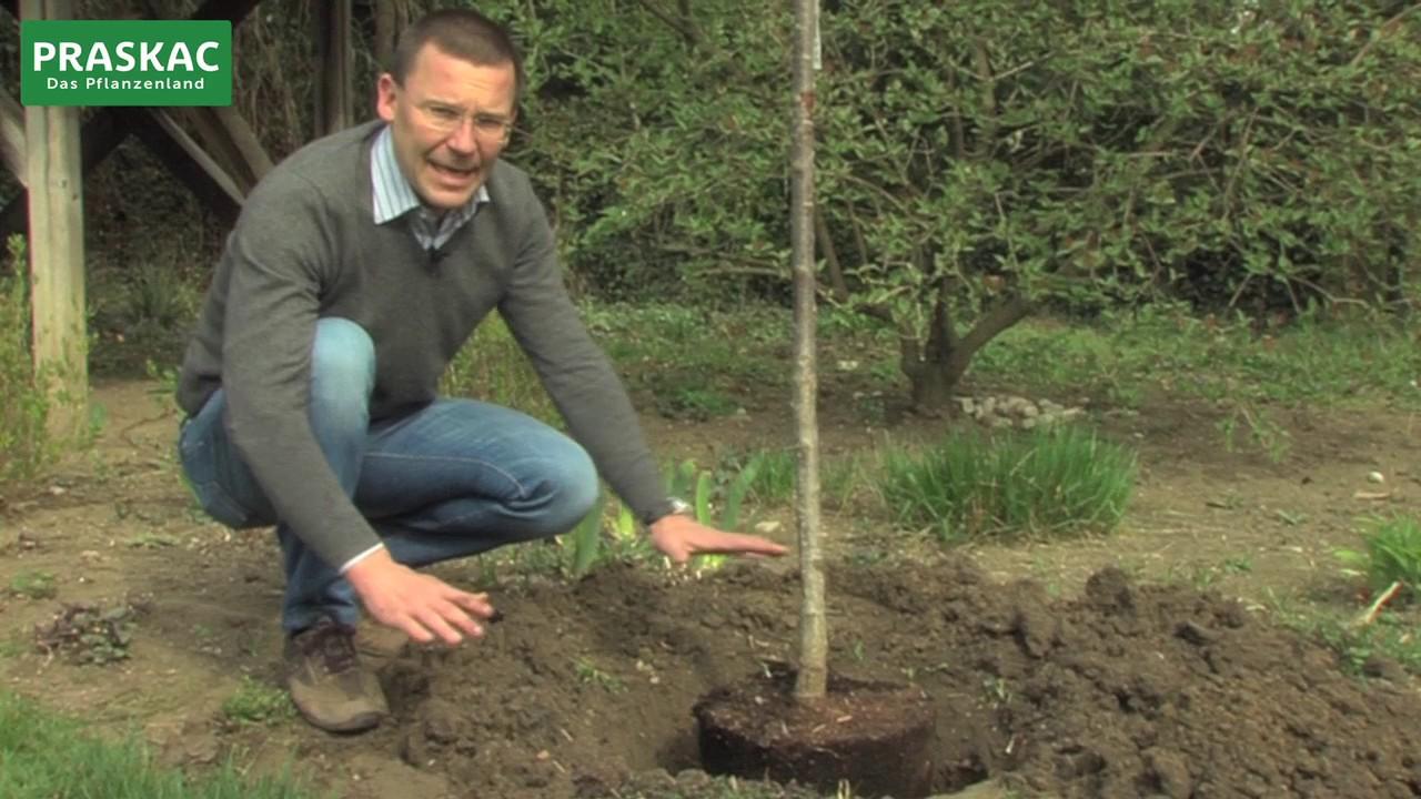 Etwas Neues genug Baum pflanzen | So macht man es richtig - YouTube #AQ_35
