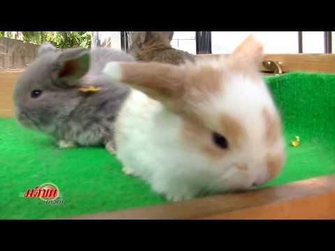 กระต่าย สายพันธุ์ยุโรป ตอน2