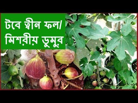 টবে মিশরীয় ডুমুর বা ত্বীন ফল (Tin Fruit /Fig In Pot) Ll Bangla
