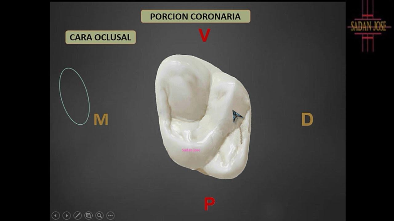 Segundo molar superior anatomía - YouTube