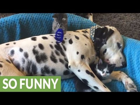 Dalmatian acts as a jungle gym for foster kittens