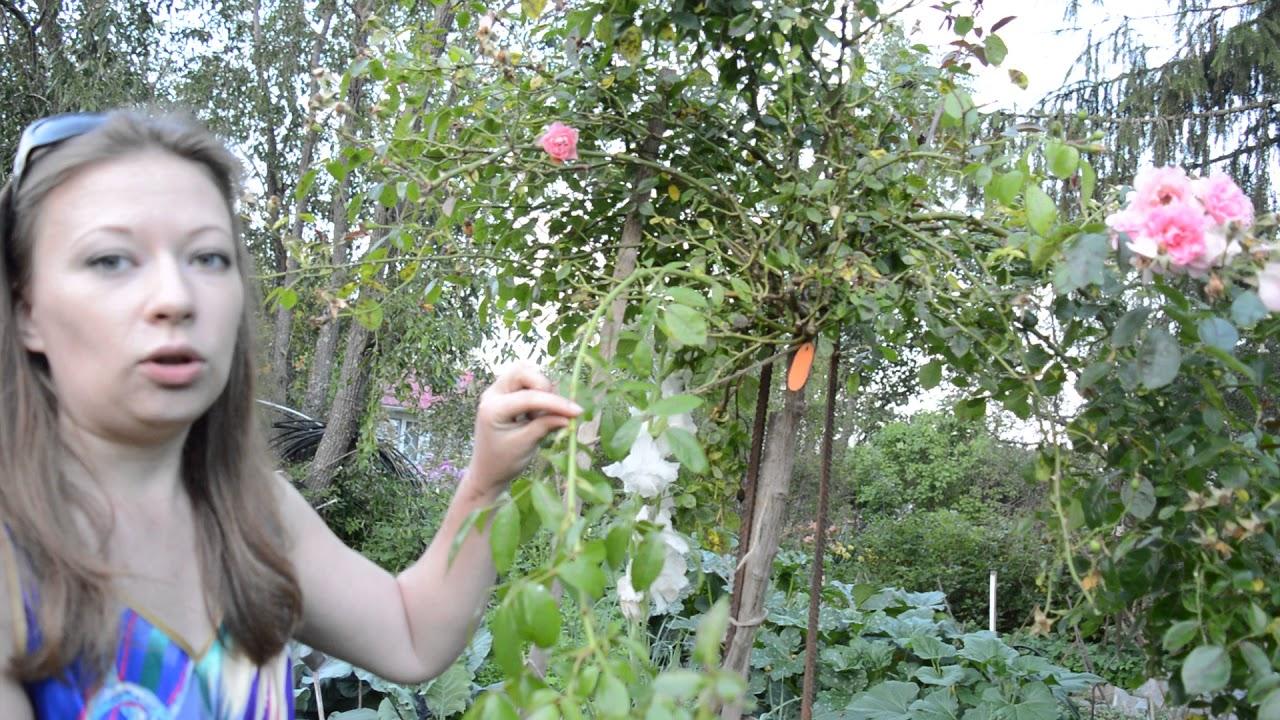 Интернет магазин саженцов роз розалия. Большой выбор роз: ✓розы элитных сортов ✓высокого качества ✓продажи оптом и розница. Звоните нам!