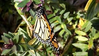 Butterfly farming v6