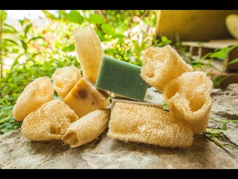 Grow your own Natural Sponge - Luffa || Valhalla Movement Network
