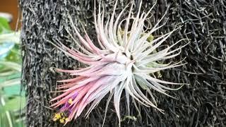 花のスライドショー、パイナップル科20180221