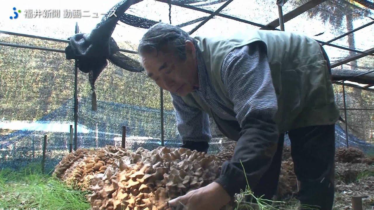 原木マイタケ収穫期迎える Youtube