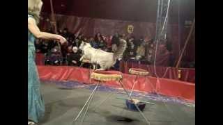кошка в цирке выступление кошки