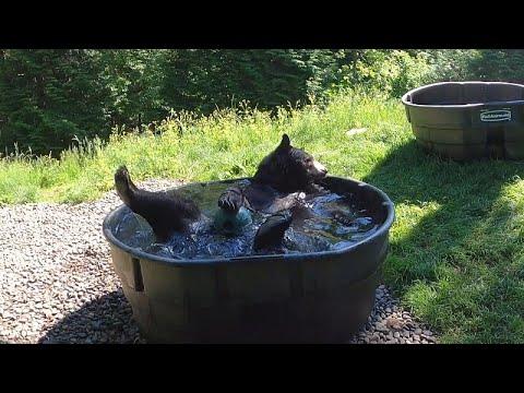 بالفيديو: دب أسود يستمتع بالمياه المنعشة خلال يوم حار في حديقة حيوانات أوريغون…  - 06:53-2021 / 6 / 18