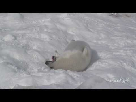 Cute Baby Harp Seal eating snow in the end.