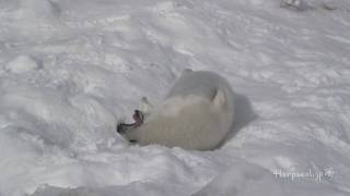 Video Cute Baby Harp Seal eating snow in the end. download MP3, 3GP, MP4, WEBM, AVI, FLV Juli 2018