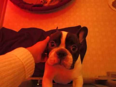 French Bulldog Puppies ~ Oregon French Bulldog Breeders ~ 3 30 17  nursery