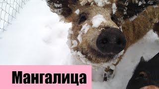 Венгерская пуховая мангалица. Весна / Blond Mangalitsa Pigs