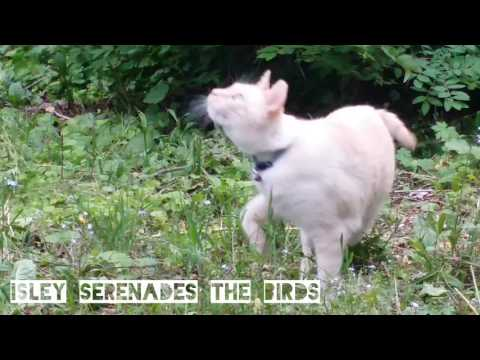Funny flamepoint Siamese cat chatters to his bird bros