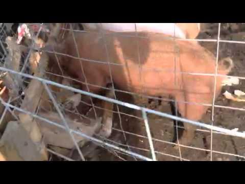 Feeding pigs 2