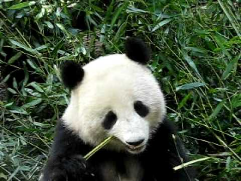 giant panda eating bamboo in chengdu youtube