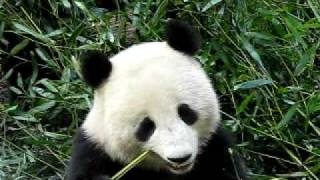 Giant panda eating bamboo in Chengdu