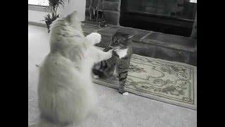 Мейн-Кун дерётся с обычным котом