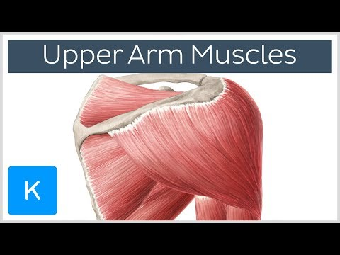 Muscles of the upper arm and shoulder blade - Human Anatomy   Kenhub