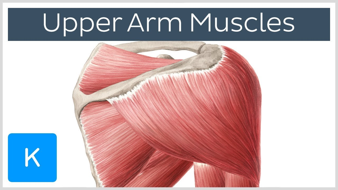 Download Muscles of the upper arm and shoulder blade - Human Anatomy | Kenhub