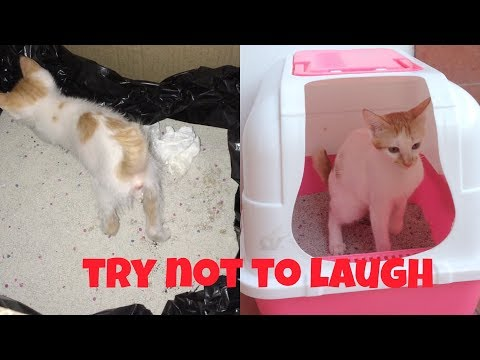 AWESOME KITTEN LEARNS how to use the LITTER BOX  in just 1 DAY!   Maui Boy