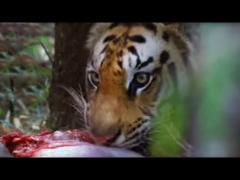 Fiona Bruce meets endangered tigers feasting in the wild - Saving Planet Earth - BBC