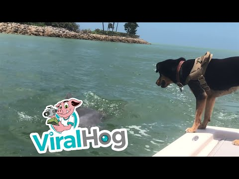 Dog Makes Friends with a Dolphin || ViralHog