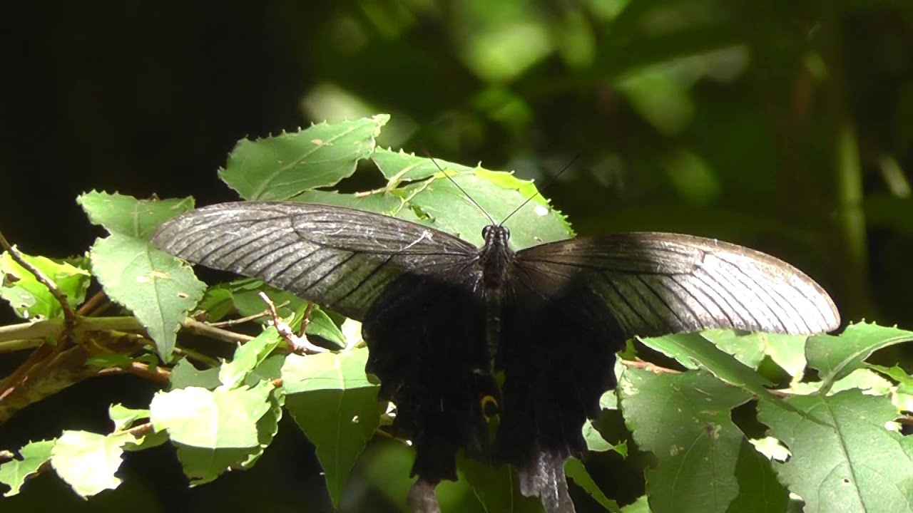Large Black Butterfly ...