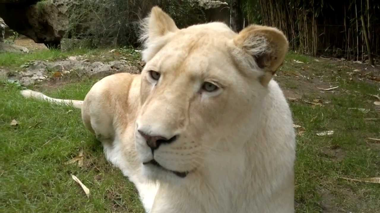 lions blanc zoo de la fleche pt 1 youtube. Black Bedroom Furniture Sets. Home Design Ideas